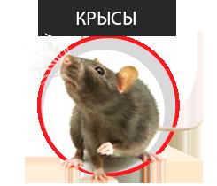 обработка крыс от паразитов